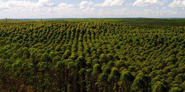 FORESTALEstiman que crecerá un 10% la superficie plantada de Eucaliptos en Brasil